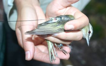 Red-eyed vireo with transmitter