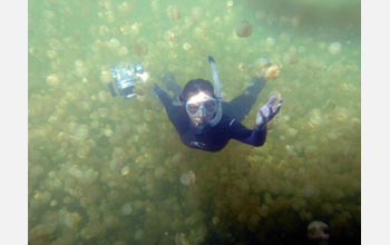 Photo of Kakani Young swimming among jellyfish.