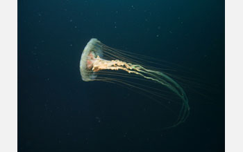Photo of a sea nettle.