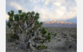 Photo of a Joshua tree dusted with snow following a spring snowstorm in Tikaboo Valley, Nevada.