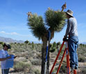 Photo of Willamette University students collecting morphological data from a Joshua tree.