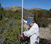 A scientist measures the heights of juniper trees as part of a Sevilleta LTER study.