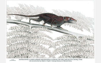 Illustration of the nocturnal mammal Juramaia, hunting insects on a tree fern.