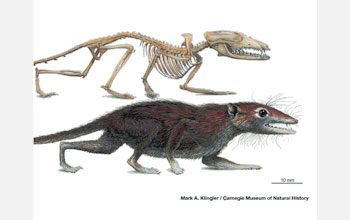 Illustrations of the skeleton and restoration of the new shrew-sized Jurassic mammal.