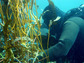 Scuba diver measuring giant kelp biomass