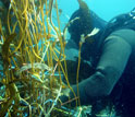 Photo of a scuba diver measuring giant kelp biomass in underwater research plots.