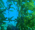 Photo of kelp plants growing toward the sea surface on strong, flexible stipes.