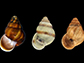 tree-dwelling snails