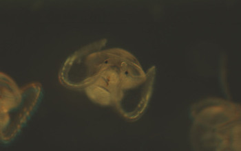 Microscopic image of Atlantic slipper limpet veliger larvae.