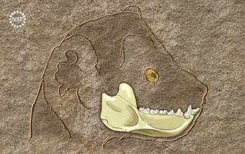 Artist's reconstruction of the lower jaw of a 37 million-year-old Egyptian primate, Afradapis.