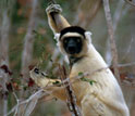 Photo of a Sifaka lemur in Madagascar.