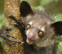 Closeup photo of an aye-aye, a type of lemur, holding on to a tree branch.