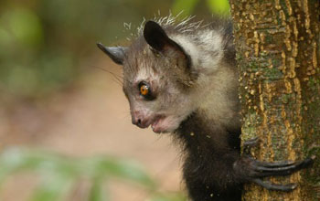 Photo of an aye-ayes holding on to a tree trunk.