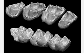 Photo of the upper and lower molars of the extinct Afradapis primate.
