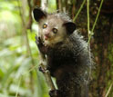 Photo of an aye-aye in a tree