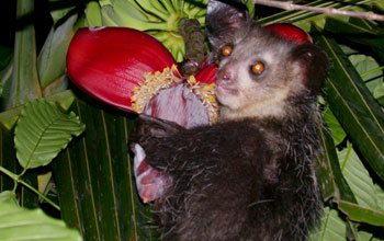 Photo of a aye-aye next to a red tropical flower