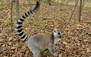 ring-tailed lemur sniffs a tree