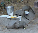 Banded mongoose eating human food from plates