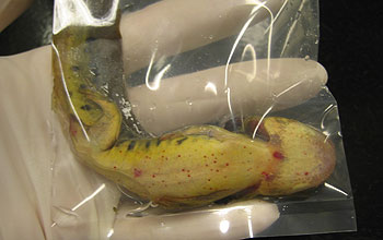 Waterdogs, or tiger salamander larvae, in bait shops across the U.S. West carry infections.
