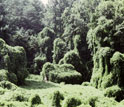 Photo of kudzu, the woody vine that ate the American South.