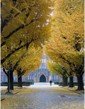 Photo of gingko trees at the University of Tokyo.