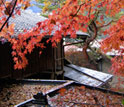 Photo of maple trees in central Japan.