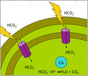 Illustration showing a pump will transport into cells bicarbonate  that will be converted into CO2