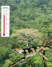 Picture of the lizard Enyalius leechi over the Amazon rainforest.