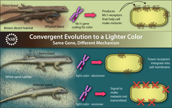 Illustration showing convergent evolution in lizards to lighter color.