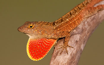 A male brown anole lizard.