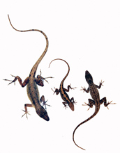 Photo showing a female anole lizard in center with a large male on left and small male on right.