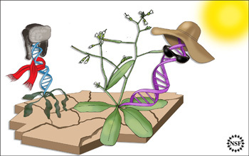 Illustration showing two plants, one dying, the other thriving, determined by small number of genes.