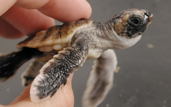 Photo of a loggerhead hatchling.