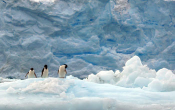 Photo of Adelie penguins near the Palmer Station LTER site in Antarctica.