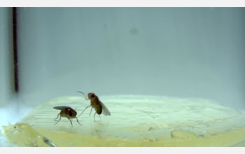 Image of lunge and wing-threat behavior between a pair of male fruit flies.