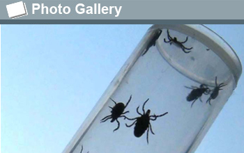 Photo of five ticks in a glass vial with the photo gallery icon and the words Photo Gallery.