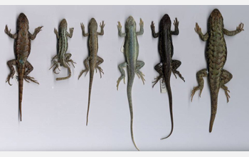 Lizards lined up showing the variation in sizes among them.