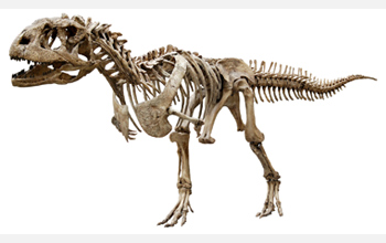 Photo of skeletal reconstruction of Majungasaurus, a Late Cretaceous dinosaur from Madagascar.