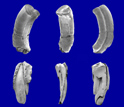 SEM images of teeth of the Late Cretaceous gondwanathere mammal Lavanify from Madagascar.