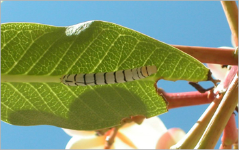 Larva on leaf
