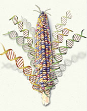 Watercolor of corn with strands of DNA coming out