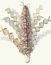 NSF, USDA and DOE award $32 million to sequence corn genome.
