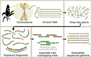 How the maize genome will be sequenced