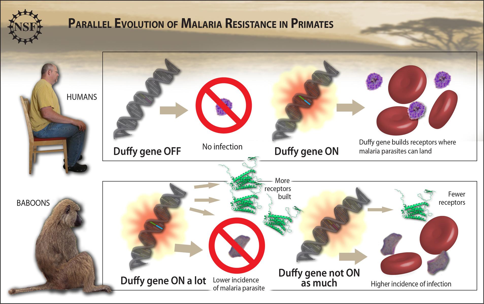 Natural Selection Malaria Parasite