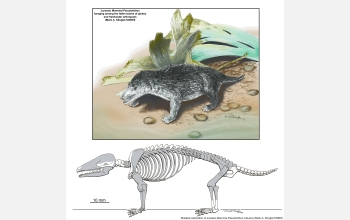 The new Jurassic mammal is portrayed foraging among ginkgo leaves on the shore of a shallow lake.