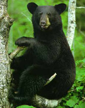 Photo of a black bear sitting on a branch in a tree.