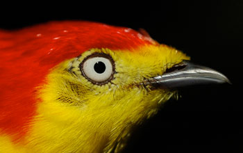 Photo of the head of a wire-tailed manakin's showing its bright plumage.