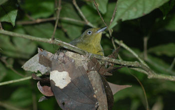 Photo of a drab green female wire-tailed manakin.