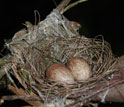 Photo of a wire-tailed manakin nest with two eggs.