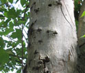 Photo of an infested Worcester maple, showing exit holes from adult Asian longhorned beetles.